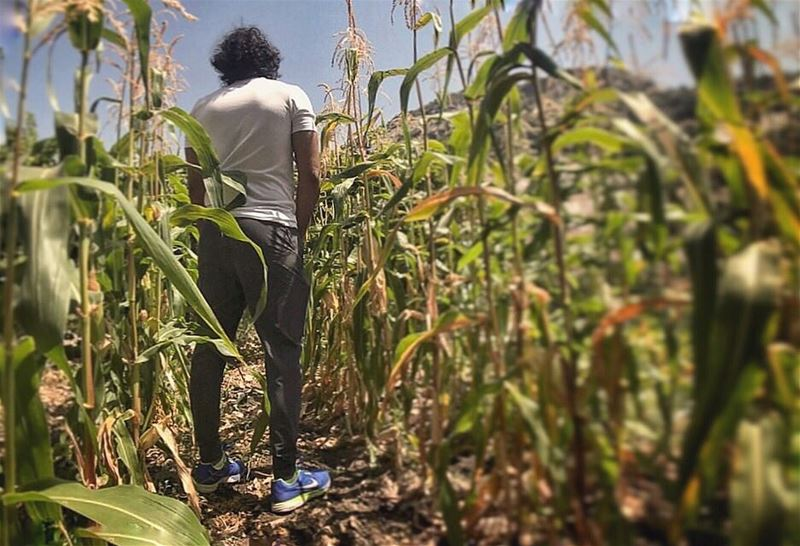 And into the fields he goes......... field  corn  grow  go ... (Douma, Liban-Nord, Lebanon)