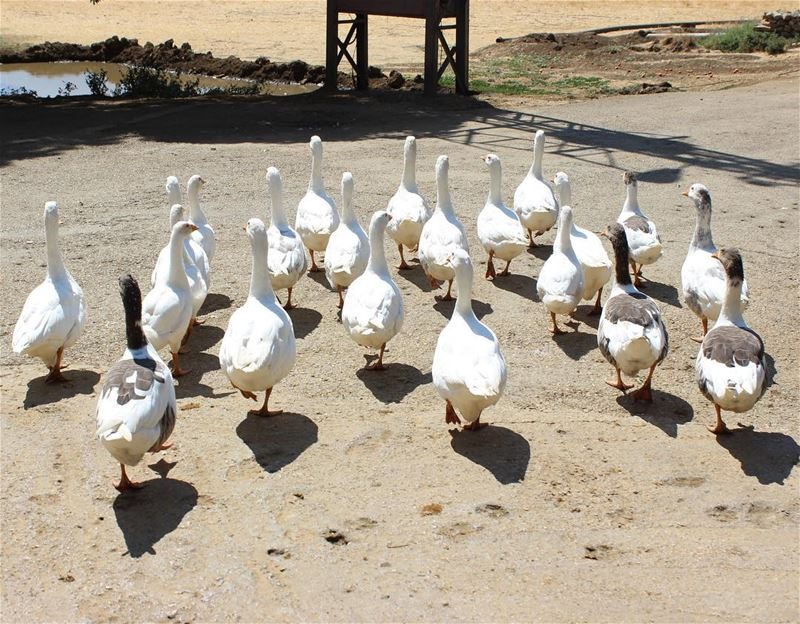 lineup  duck  animals  livelovebekaa  livelovelebanon  amiq  shadow ... (`Ammiq, Béqaa, Lebanon)