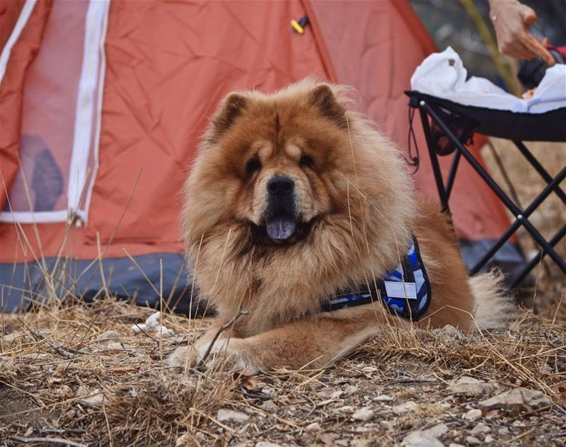 Fluffy sure enjoyed his first camping trip 🐶❤  CampingKing .......... (Bchaalé, Liban-Nord, Lebanon)