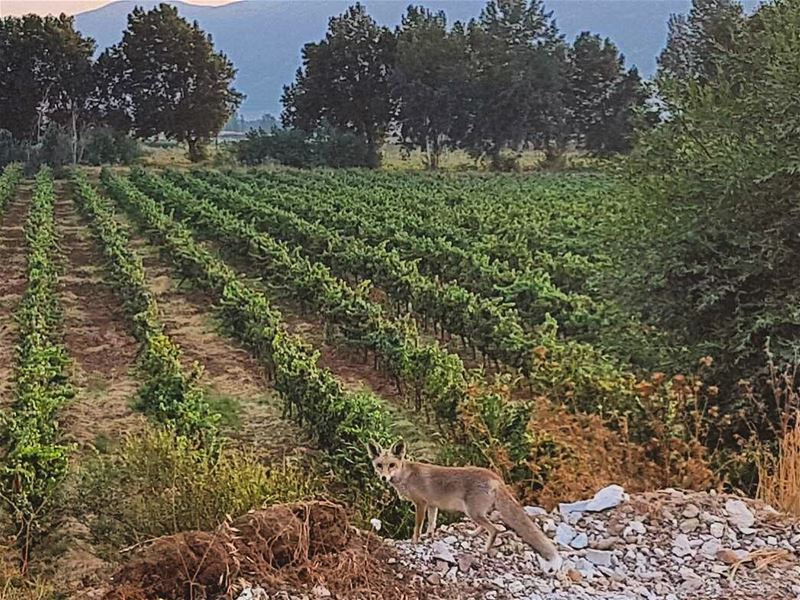 """""Goodbye"", said the fox. ""And now here is my secret, a very simple secret: (Beqaa Valley)"