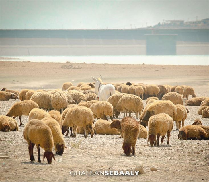 Lake Qaraoun - Lebanon sheeps  sheep  lake  donkey  lebanon  bekaa ... (Lake Qaraoun)