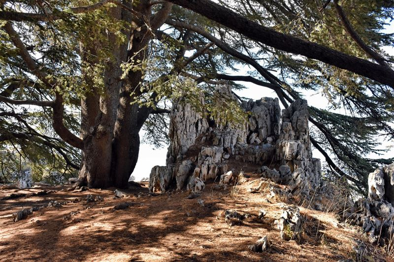 Little Rock in the Shade of Big Tree naturephotography  cedar  tree ...