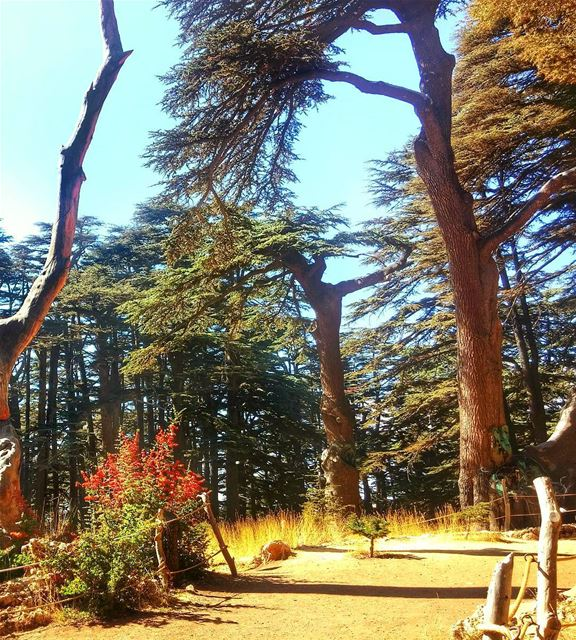 Beautiful Cedars ❤ lebanon  nature  naturelovers  natureporn  landscape ... (The Cedars of Lebanon)