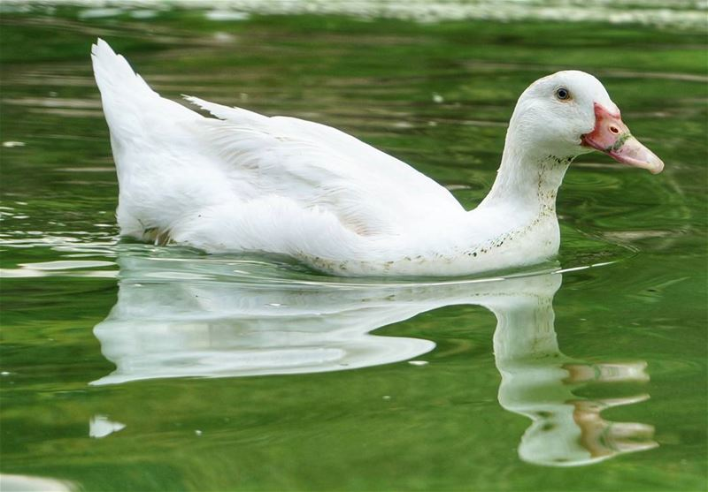 quacks like a duck. lake  lakers  lebanon  lebanonanimals  white  animals...
