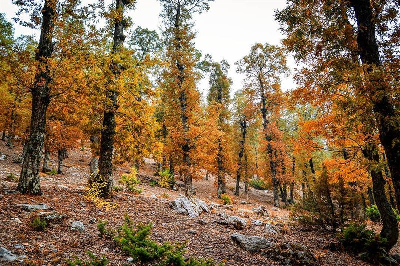 .The thousand shades of Fall. The enchanted forest, Akkar, Lebanon. Good... (غابة العذر)