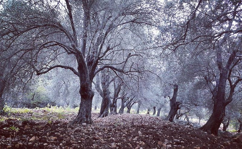 The haunted forest olives  lebanon  naturelovers  discover  nature  fall...