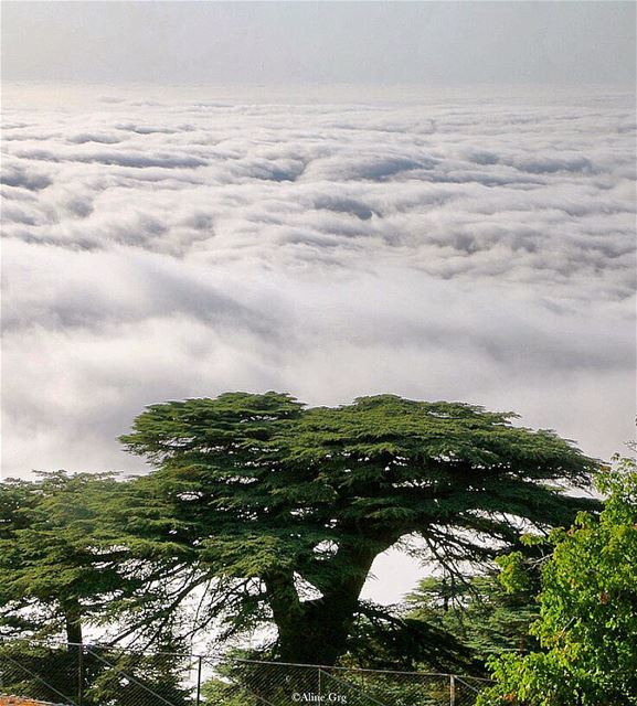 Always Independent 🇱🇧 cedars  tree  forest  independenceday  lebanon ... (Al Shouf Cedar Nature Reserve)