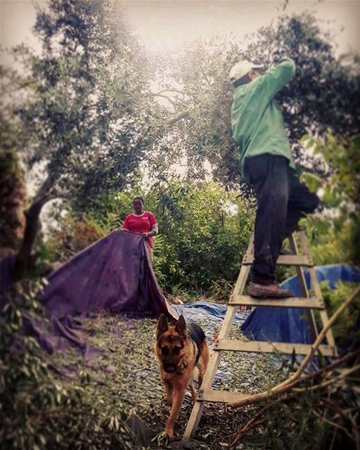 -people at work- olivegarden  olives  oliveoil  gardening  tree_captures ...