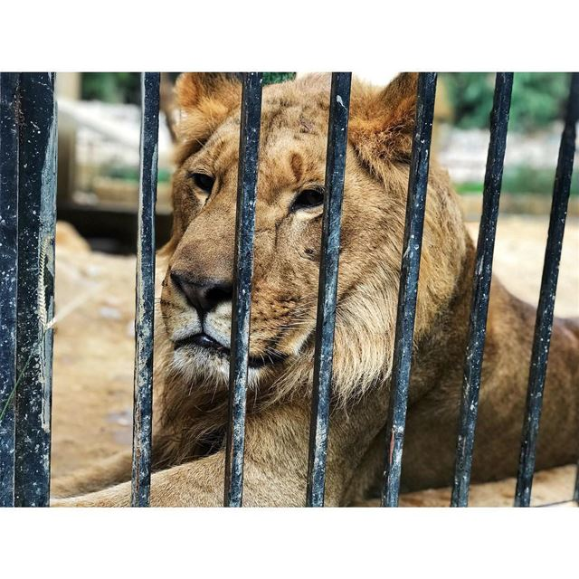 kingofjungle 🦁 livelovenature  animals  zoo  zoolebanon  lebanon  lion ... (Animal City Lebanon)