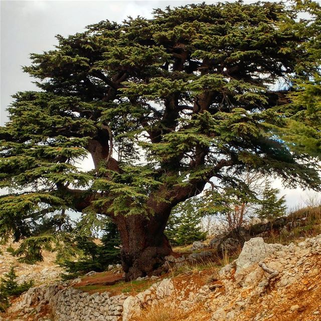 Forgive me if I happen to fall for these cedars, all four million of them.... (محمية ارز الشوف)