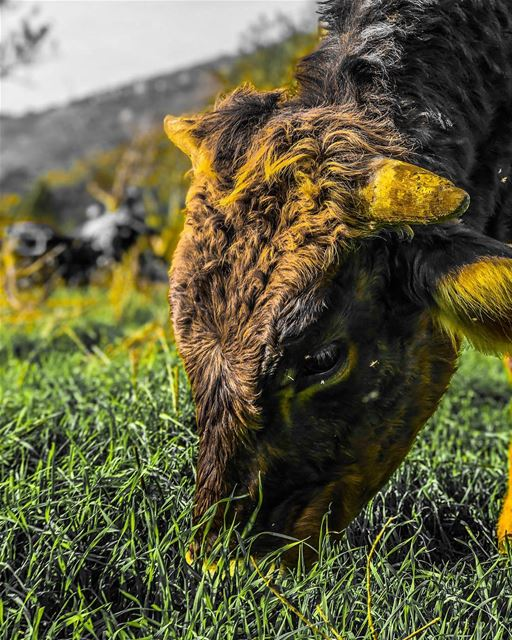 Cow portrait...... cow  portrait  grass  feedme  animals  nature ... (Marj Bisri)