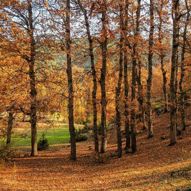 The Golden Oak Forest (غابة العذر) Fnaidek, Ammou3a hike  fall  forest ... (غابة العذر)