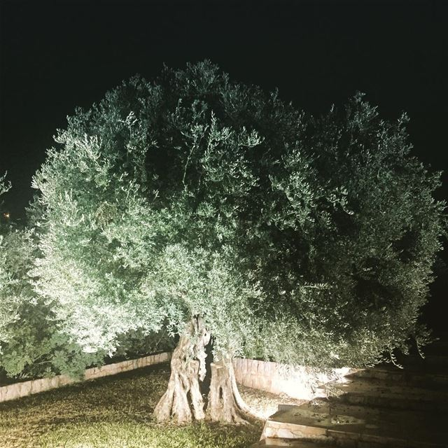 nature  free  olive  tree  garden  olives  silence  silent  night  dark ... (Zikrit, Mont-Liban, Lebanon)