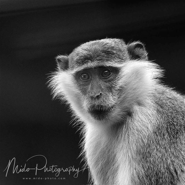 monkey  animalplanet  animals  zoo  midophotography  lebanon ...