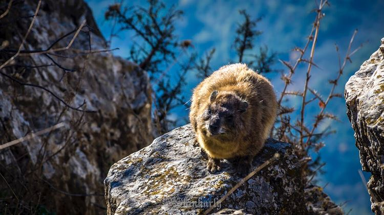Tabsoun (طبسون) is the Lebanese name for the Rock Hyrax (French: Daman des... (EcoVillage , Chouf)