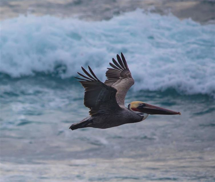 Wings of the Ocean.... pelican shot in  lajolabeach  california  usa ...