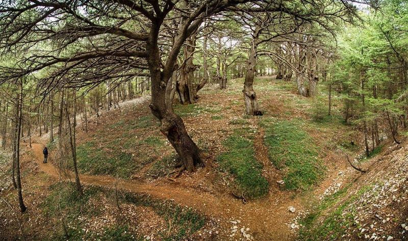 When you enter a forest aging more than 1000 years old, you realize how... (Al Shouf Cedar Nature Reserve)