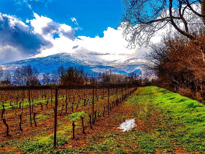 Time to look after the vineyards  vinyard  landscape  bekaa  snow ... (Bekaa Valley)