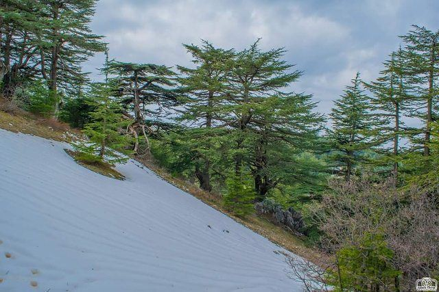 Good morning from al barouk cedars  cedar  cedars  lebanon  alshouf ...