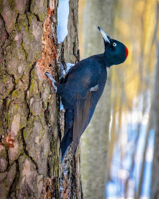 Wild woodpecker | In the snowy forest of Sosnovka  Russia. wild  animals... (Saint Petersburg, Russia)