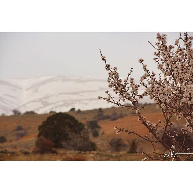 Spring on a snow backgroundBy @bsn_lb hermel  hermel_city  bekaa ... (El Hermel, Béqaa, Lebanon)