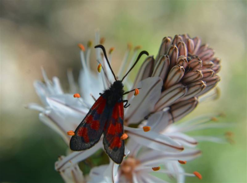 Kiss the flower Red butterfly! ❤❤  macro_brilliance  macro  globalcapture ... (Kasrouane)