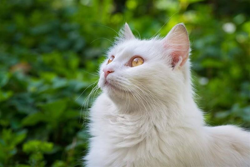 Looking for a prey ... animal  cat  nature  graden  lebanon  white ...