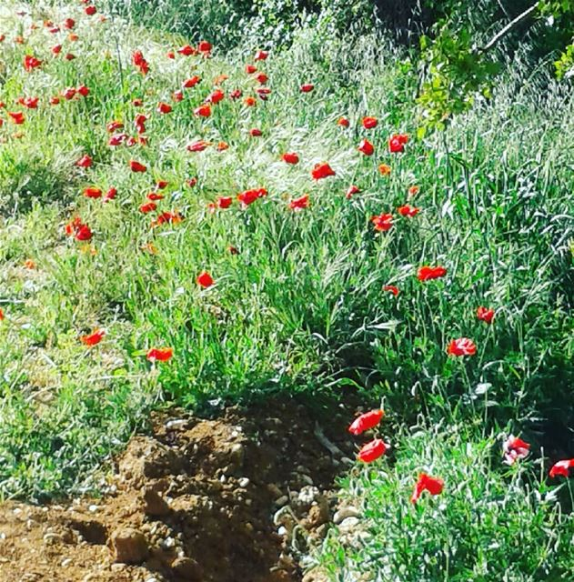 staygreen  nature  green  flowers  lebanon  meetlebanon  coquelicot  walk...
