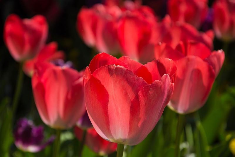 Dressed in red...from the  spring of  istanbul  turkey  tulips  nature ...