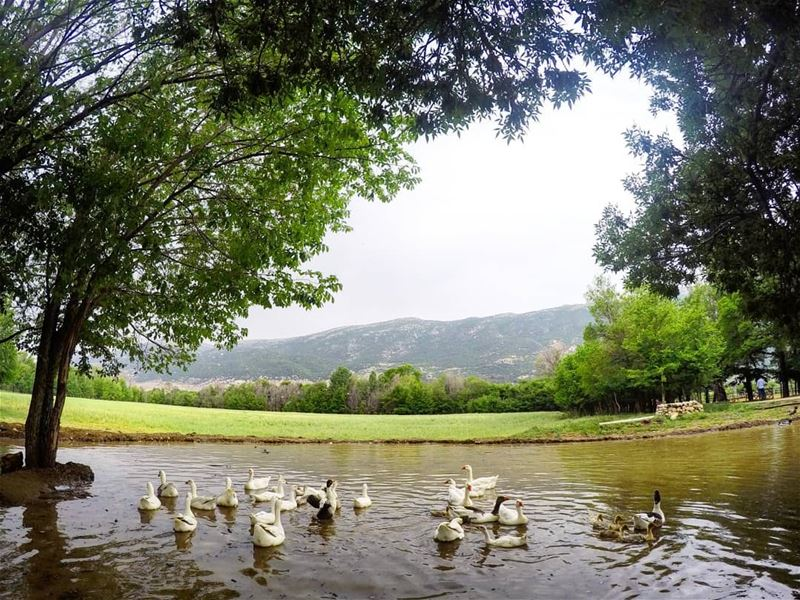 In A Moment Of  Peace ... Piece Of  Heaven 🦆🦆🦆 Lake  Ducks  Nature ... (`Ammiq, Béqaa, Lebanon)