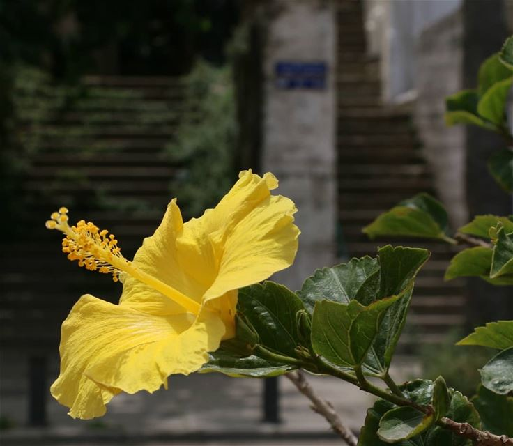 Behind this beautiful yellow flower there are the stairs. Where do these... (Beirut, Lebanon)
