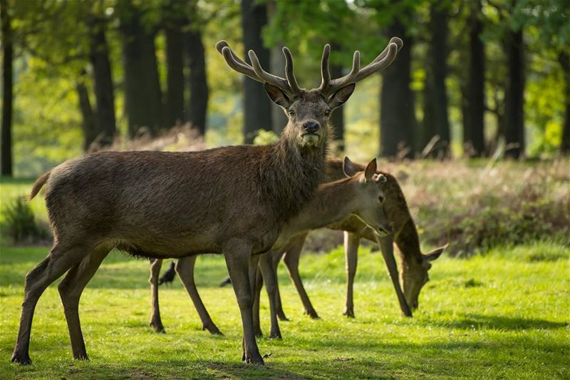 Eyes on you!...shot in the heart on  england,  richmondpark  deer  redstag...
