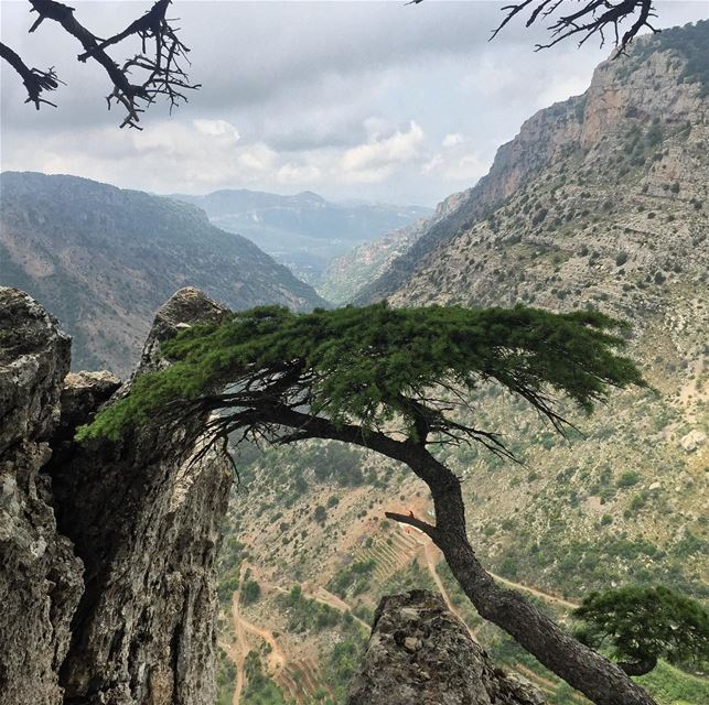 🌲🇱🇧 lebanon cedars  middleeast  travel  nofilter  travelphotography ... (Tannurin At Tahta, Liban-Nord, Lebanon)