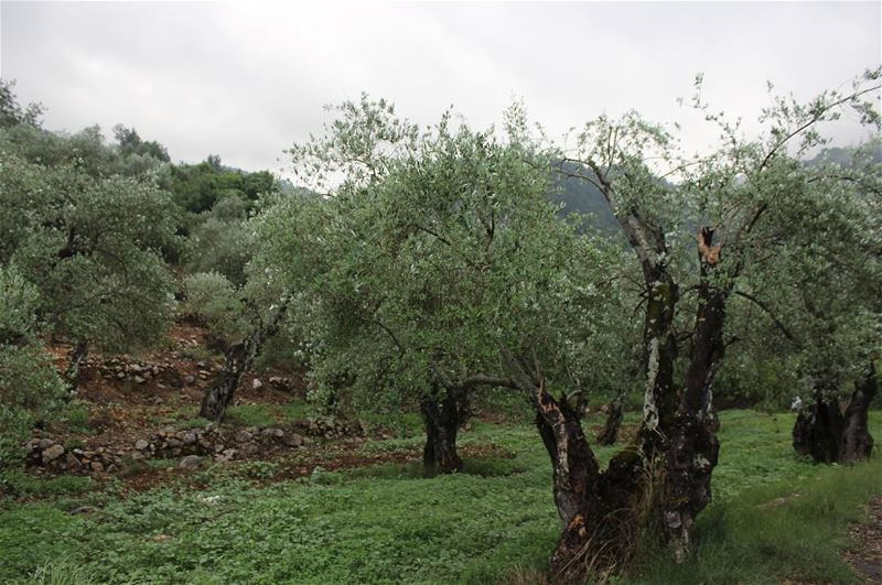 Olives Garden olives  tree  green  garden  nature  outdoor  green  age ... (Bisri, Al Janub, Lebanon)