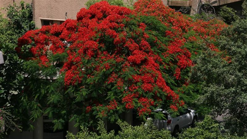 She is back again! This beautiful lady in red blossomed after a year and... (Achrafieh, Lebanon)