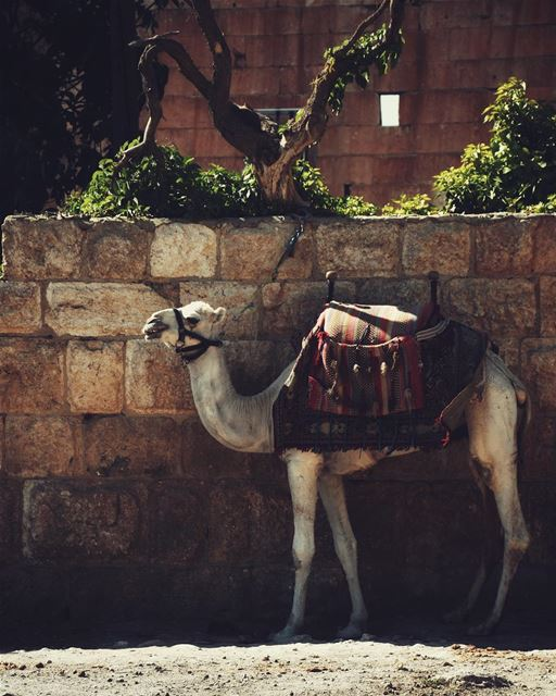 Hi new friend! 🐫 (Baalbek, Lebanon)