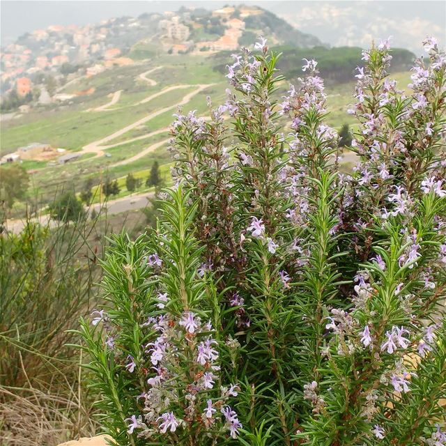 So much rosemary, need to come-up with ways to use it!  rosemary  herbs ... (Dayr Al Qamar, Mont-Liban, Lebanon)