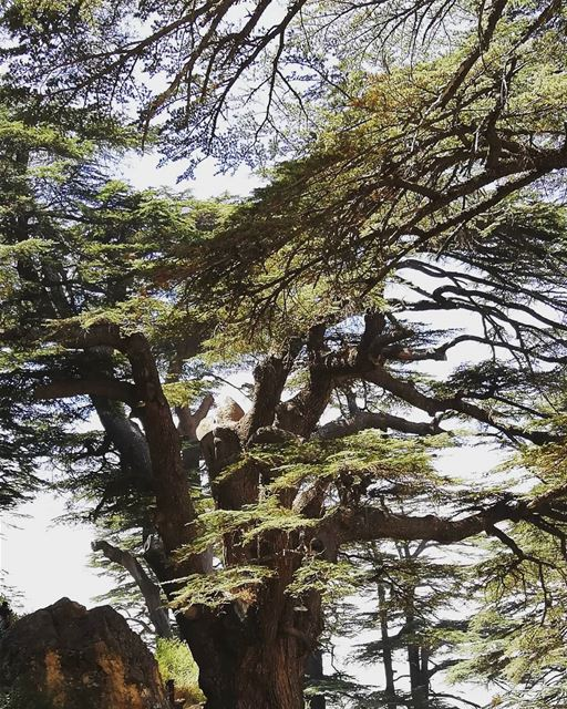 treelover  tree  cedar  livelovebcharre  livelovelebanon  insta_lebanon ... (Cedars of God)