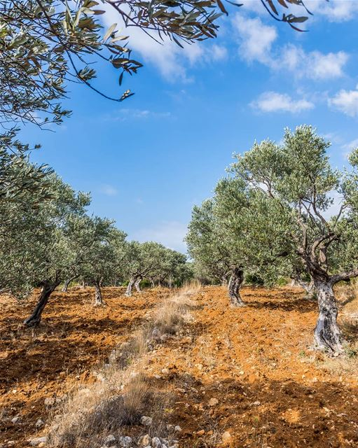 Just olive trees. I am not always creative.... (Anfeh Al-Koura أنفه الكورة)