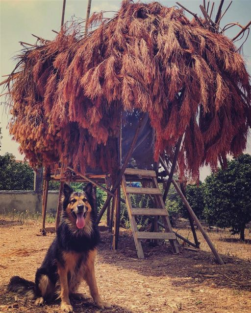 Dodger_TheDog  treehouse  happydog  dogsofinstagram  livelovepets ...