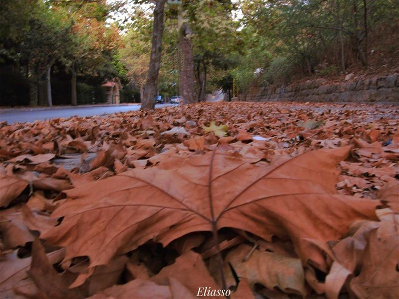 .If only humans could die like the autumn leaves, with a splash of beauty... (Sawfar, Mont-Liban, Lebanon)