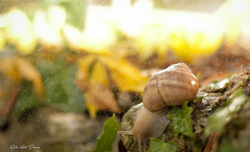 Morning droplets 💧 🐌  snail  autumn  fall  rain  sunrise  forest ... (Beït Hebbâq, Mont-Liban, Lebanon)