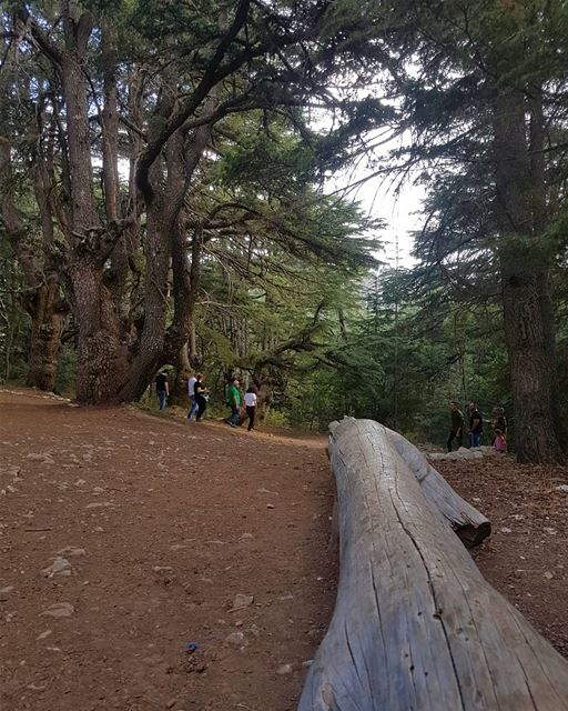 أرزه عزّه لمدى الأزمان هابي _اندبندنس _داي ig_respect  ig_lebanon ... (Al Shouf Cedar Nature Reserve)