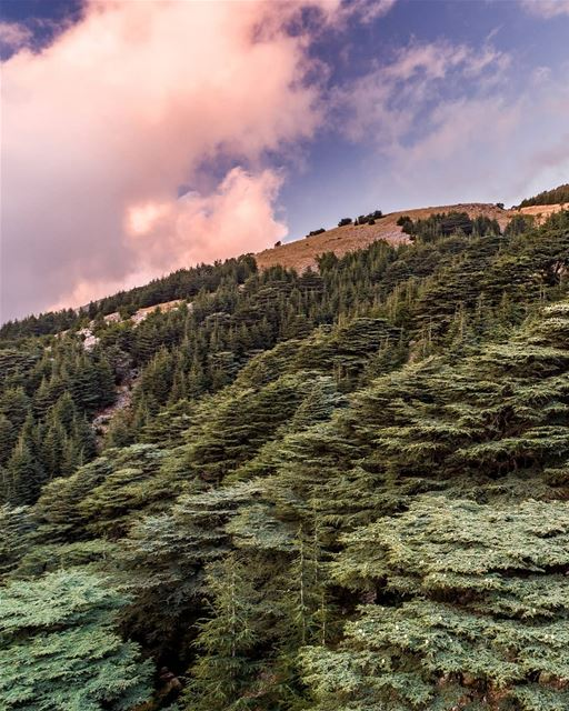 Made in Heaven 🌲. . .  shouf  chouf  barouk  reserve  cedars  nature ... (Al Shouf Cedar Nature Reserve)