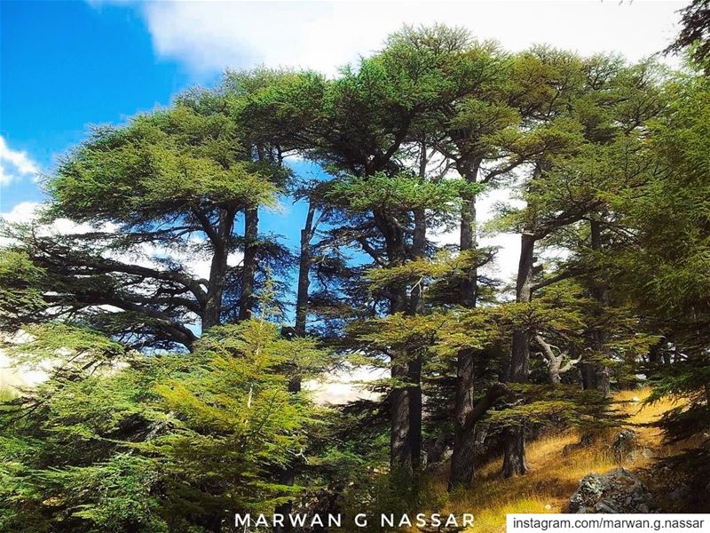 May there be abundance of grain in the earth on top of the mountains; Its... (The Cedars of Lebanon)