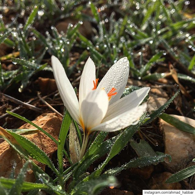 Dewdrop  lebanon  livelovebekaa  bekaavalley  dew  dewdrop  nature ... (Beqaa Governorate)