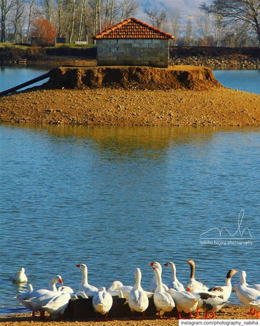 From Taanayel, Bekaa  river  pond  swans  duck  buildings  photography ... (Taanayel- Bekaa)