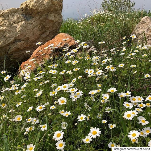 Enthralled with these wild daisies lining-up the mountain roads. ... (Deïr El Qamar, Mont-Liban, Lebanon)