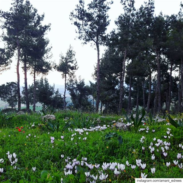 Spring is here 🌼🌷🌼🌷🌳 spring  white  red  flowers  green  trees ... (Ebel Es Saqi, Al Janub, Lebanon)