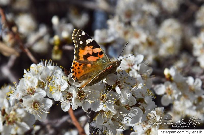For the love of Spring's Faune and Flore 🦋🌸  spring  butterfly  flower ... (Horsh Ehden)